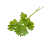 Hoja de cilantro